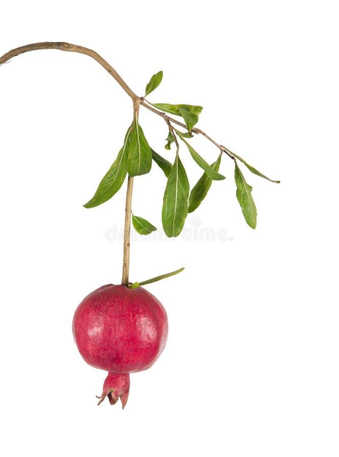 pomegranate ветви зрелый стоковая фотография