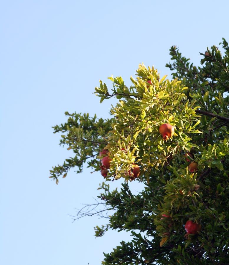Free Pomegranate Royalty Free Stock Photography - 3039357
