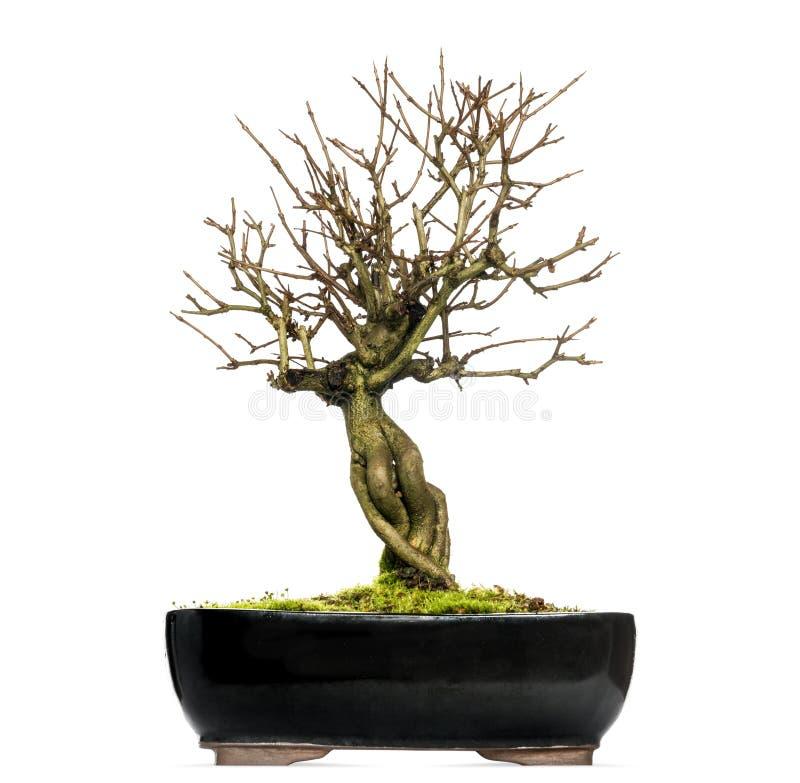 Pomegranate bonsai tree, Punica granatum, isolated. On white stock photo