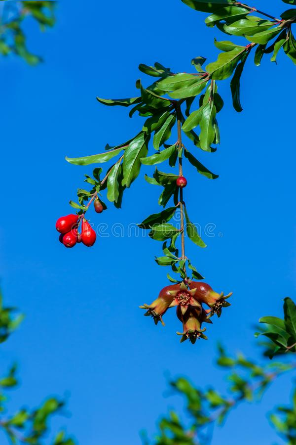 Pomegranate branch with flower and small green fruits on the tree with green foliage royalty free stock image