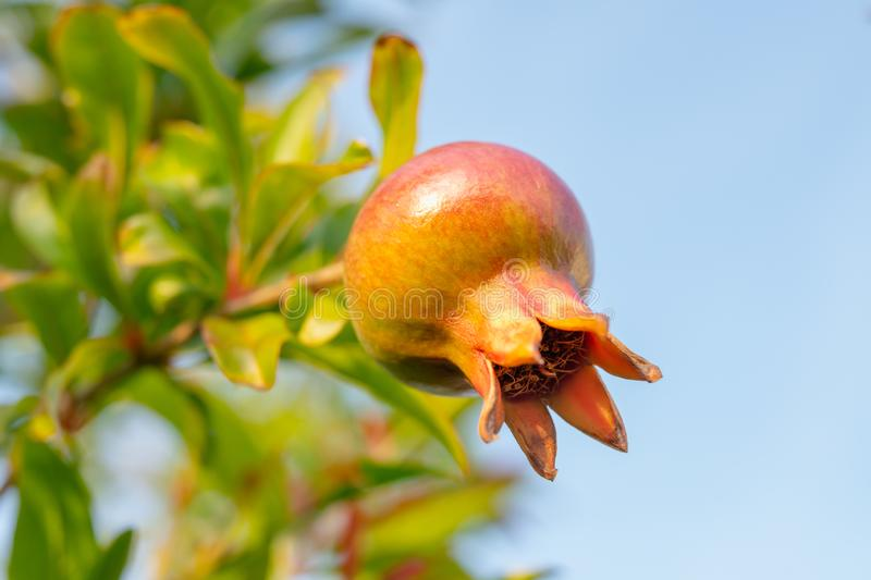 Pomegranate on a Brunch, Blue Sky Background, Copy Space. From Flower to Fruit Transformation royalty free stock photo