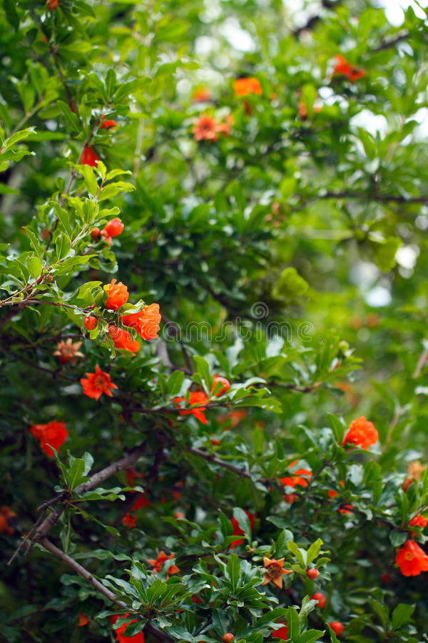 Download Pomegranate flower stock photo. Image of floral, grass - 20190322