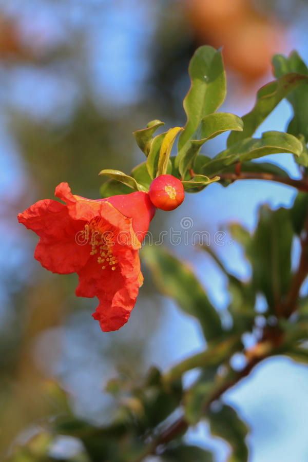 Pomegranate Flower royalty free stock photo