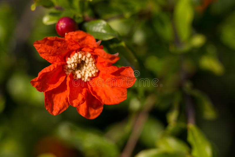 Pomegranate flower. A red pomegranate flower in the garden royalty free stock photo