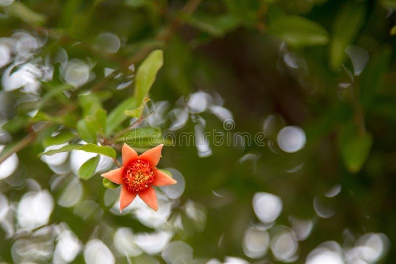 Pomegranate flower on the tree stock photo
