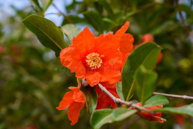 Pomegranate flowers on green branches stock photo