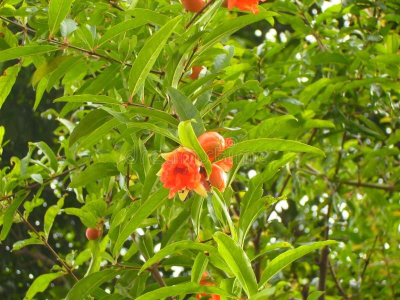 Pomegranate flowers on tree stock image