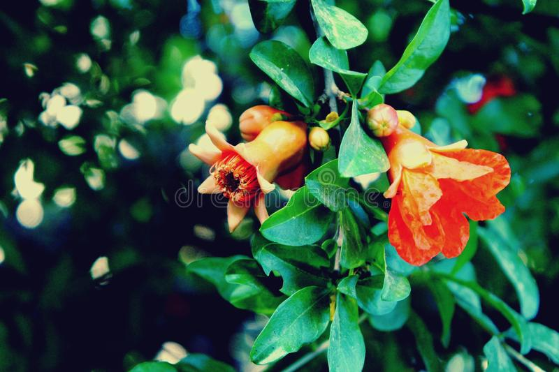 Pomegranate flowers on tree stock photos