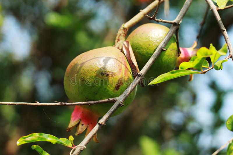 Pomegranate fruit and flowerplant close up view stock photo