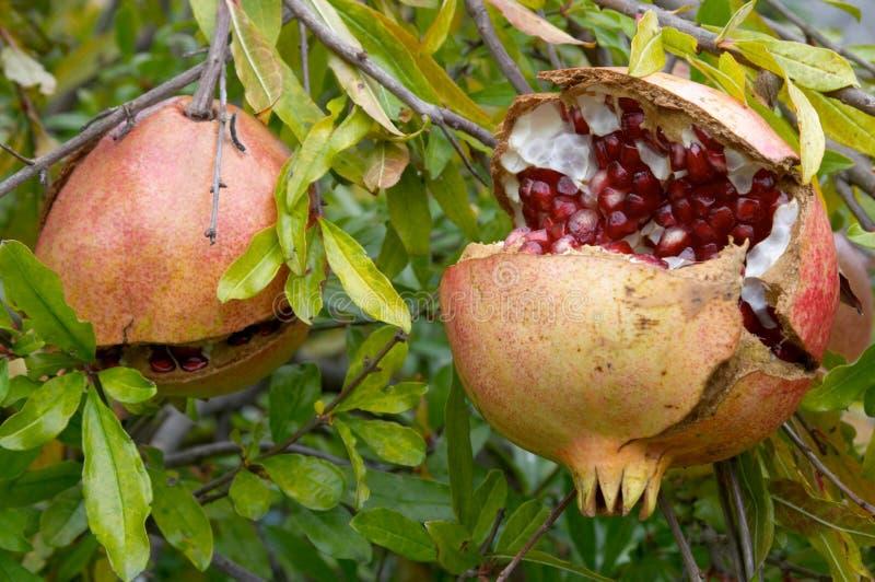 Pomegranate fruit, Punica granatum. In autumn stock image