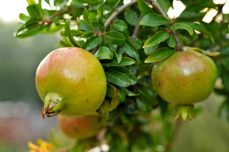 Download Pomegranate fruits stock photo. Image of branch, nutrition - 17046482
