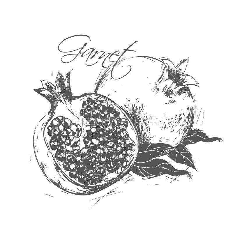 Pomegranate made in the style of a sketch. stock illustration