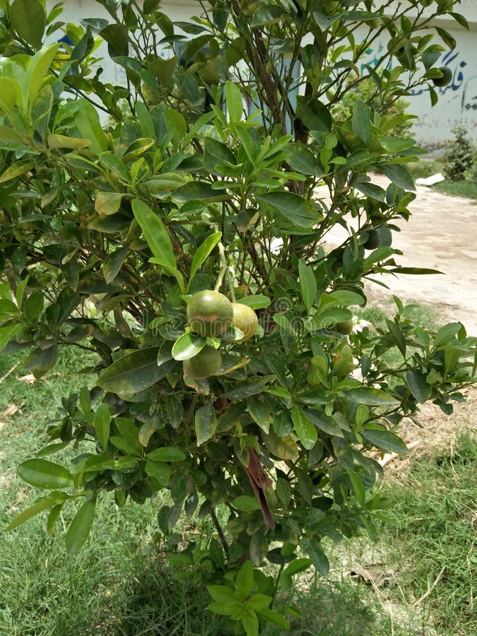 POMEGRANATE PLANT /shrub royalty free stock image