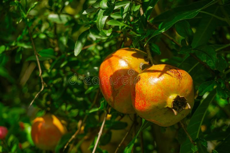 Pomegranate - Punica Granatum, called Anar or Dalim or Bedana fruit tree from Bangladesh. Dalim or Pomegranate punica granatum, family: lythraceae is a deciduous royalty free stock photography