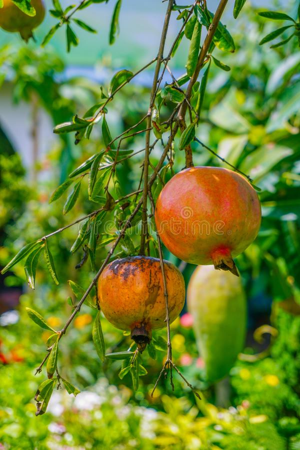 Pomegranate - Punica Granatum, called Anar or Dalim or Bedana fruit tree from Bangladesh. Granada Types Of Fruits And Vegetables, Garden Trees royalty free stock photo