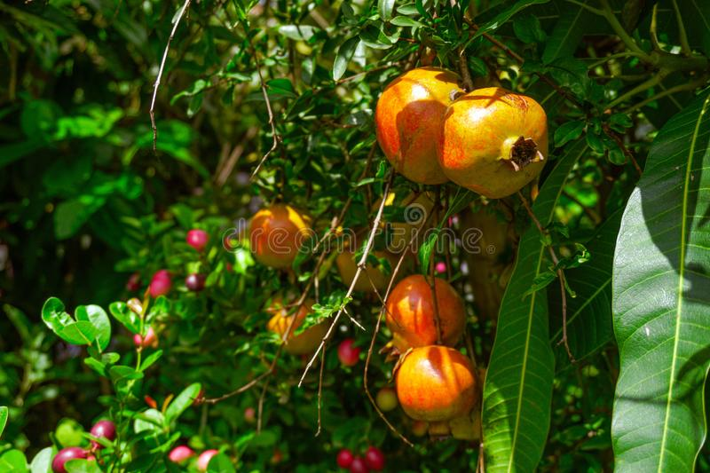 Pomegranate - Punica Granatum, called Anar or Dalim or Bedana fruit tree from Bangladesh. Granada Types Of Fruits And Vegetables, Garden Trees stock photos
