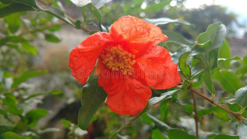 Pomegranate or punica granatum flower closeup royalty free stock photos
