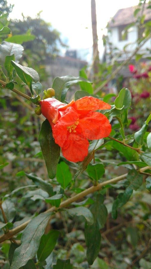 Pomegranate or punica granatum flower stock photography
