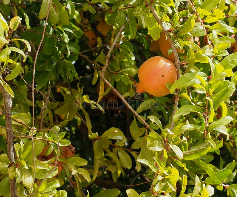 Pomegranate Or Punica Granatum Tree With Fruit. Pomegranate or Punica granatum tree with ripening fruit in Loule Portugal royalty free stock photo
