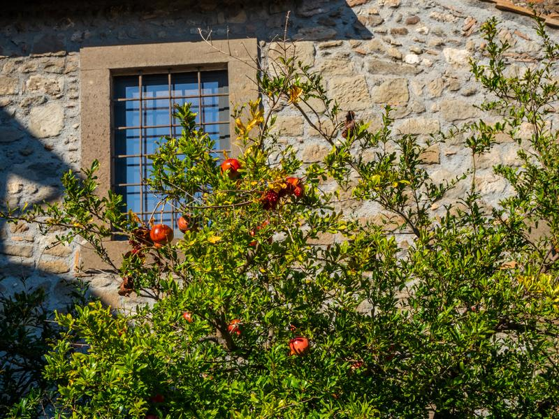 Pomegranate with ripe fruits in the old town of Viterbo, Italy.  royalty free stock photos