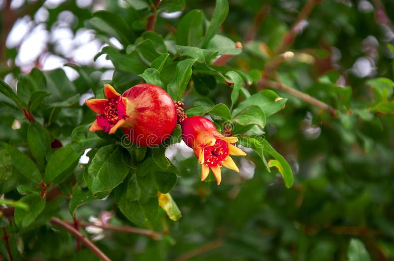 Pomegranate ripens from a flower on a tree branch. A few fruits. Ripening in clear sunny weather. royalty free stock photos