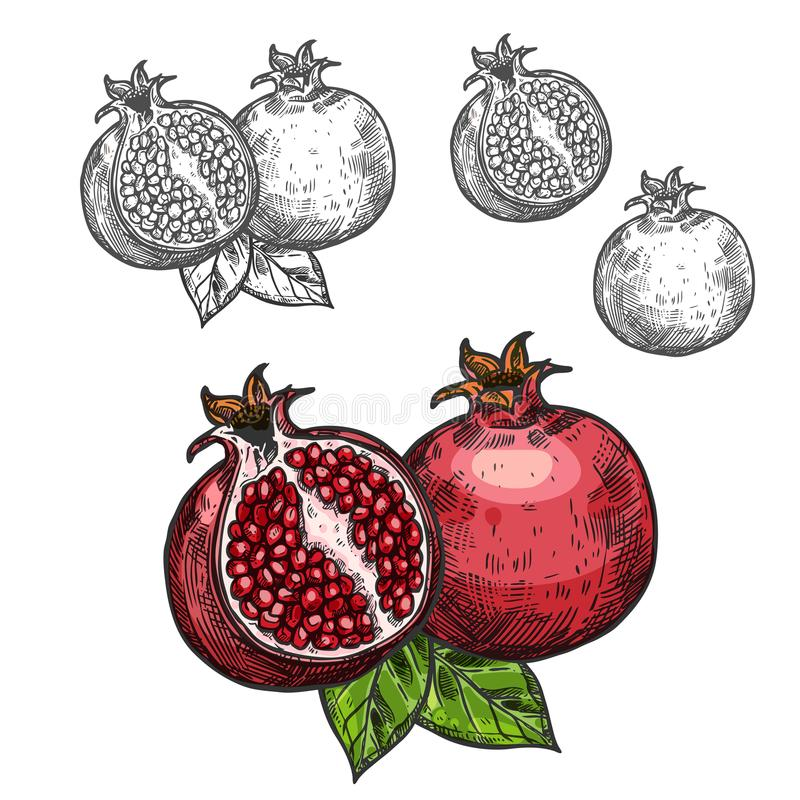 Pomegranate vector sketch fruit cut section icon vector illustration