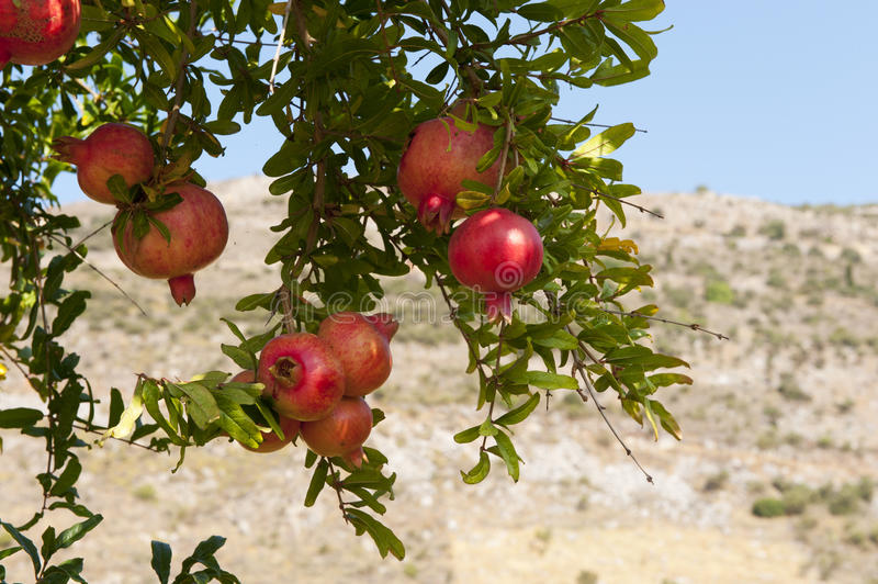 Pomegranate tree. Almost ripe pomegranate fruit hanging in the tree stock photography