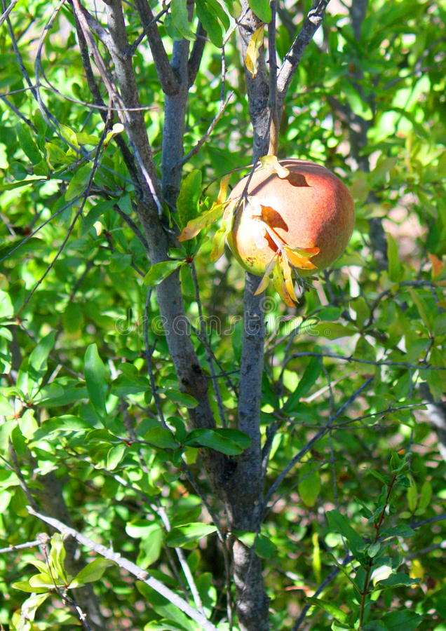 Download Pomegranate On Tree Stock Image - Image: 19772651