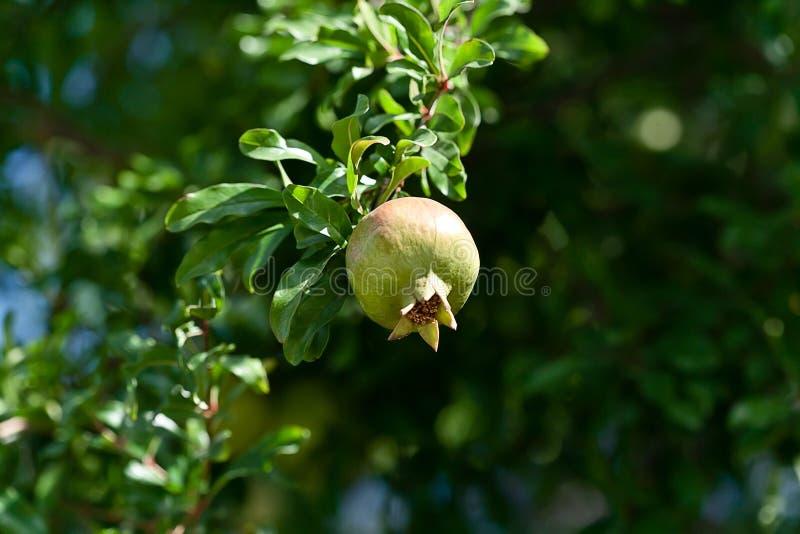 Download Pomegranate On Tree stock photo. Image of bush, fruit - 26832496