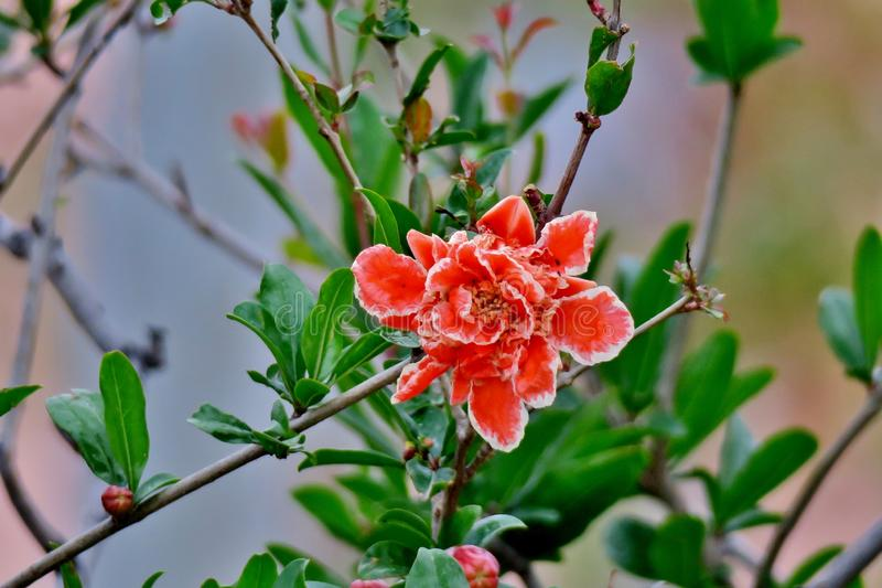 Pomegranate tree blooms with pink and white bright flowers royalty free stock photos