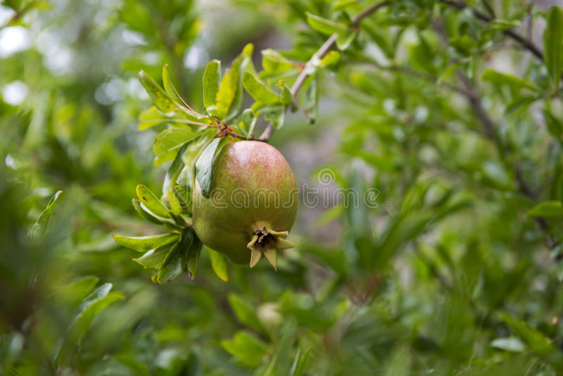 Pomegranate On Tree royalty free stock image