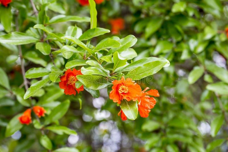 Pomegranate tree flower stock image