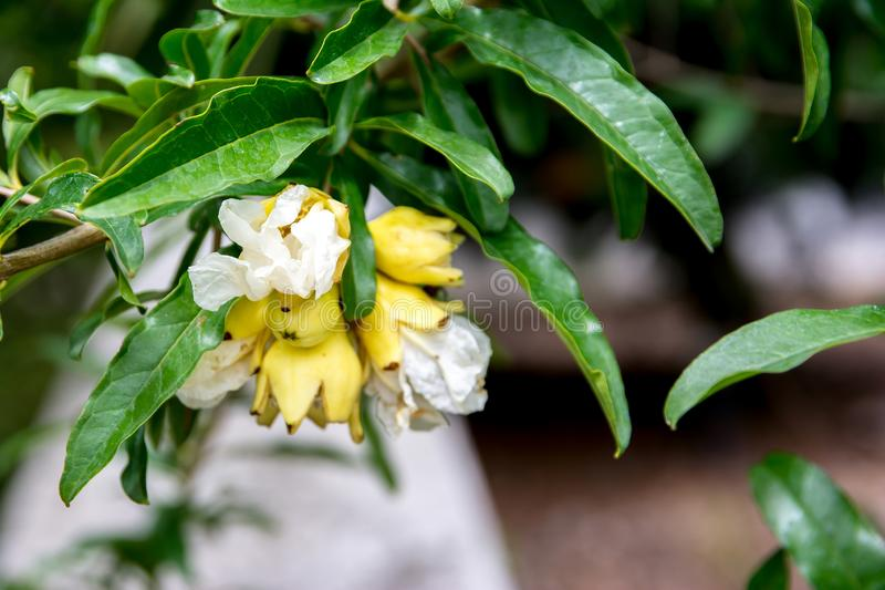 Pomegranate tree flowers in the park. Yellow pomegranate flower with leaves royalty free stock photos