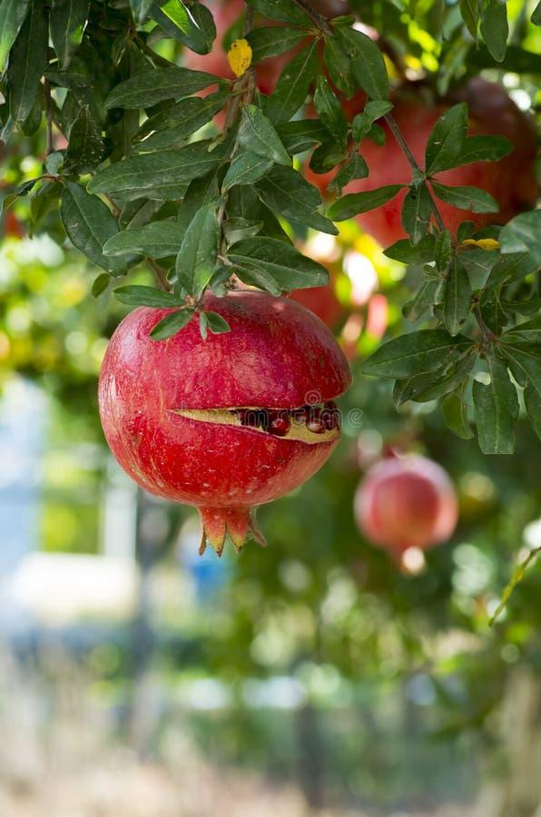 Pomegranate Tree royalty free stock images