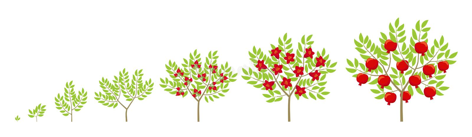 Pomegranate tree growth stages. Ripening period punica granatum progression. Granate bush life cycle animation plant phases. Flat vector color Illustration vector illustration