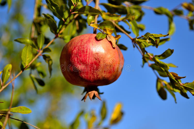 Pomegranate Trees In The Garden And Fruit Royalty Free ...