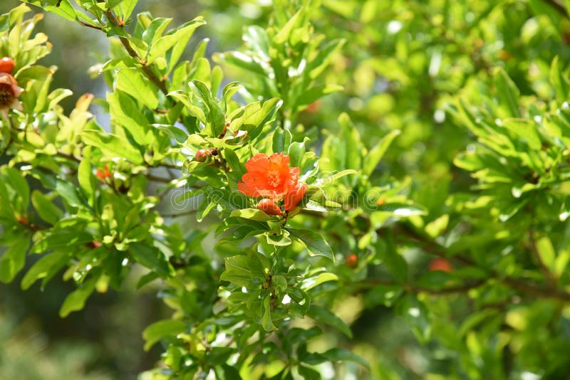 Pomegranate Cultivation Stock Photo Image Of Sunny