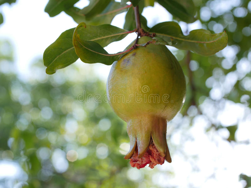 Pomegranate young fruit royalty free stock images