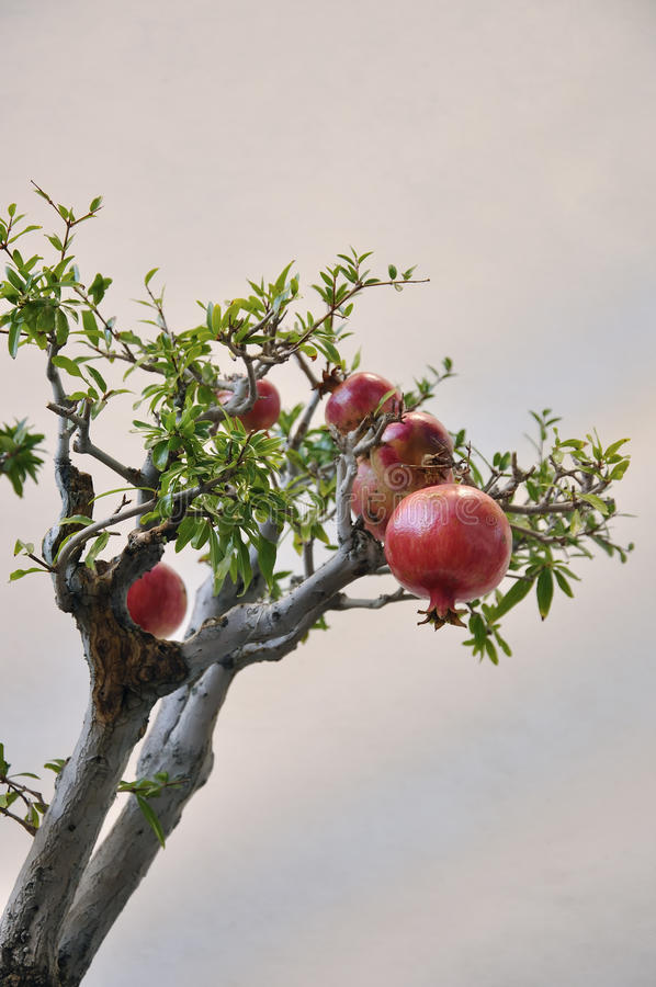 Pomegranates on branches. royalty free stock photos