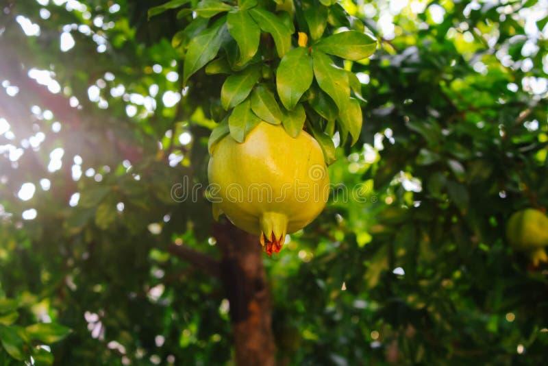 The pomegranates ripen on the tree royalty free stock photos