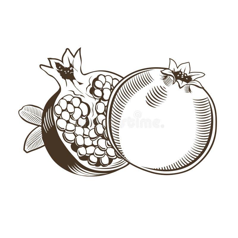 Pomegranates in vintage style. Line art illustration vector illustration