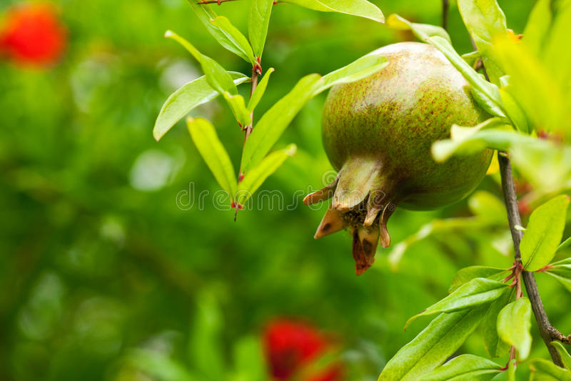 pomegranatetree royaltyfri foto