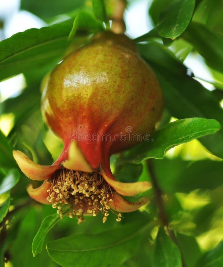 pomegranatetree royaltyfri bild