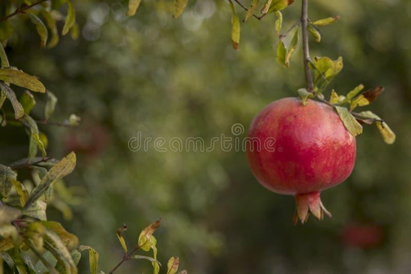Pomegrant rouge pour le hashana de rosh accrochant dans le coucher du soleil image libre de droits
