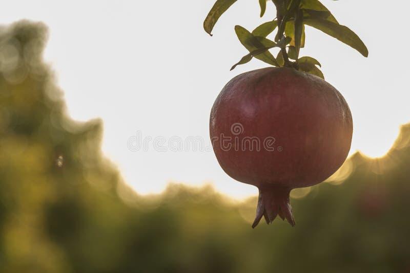 Pomegrant rouge pour le hashana de rosh accrochant dans le coucher du soleil images stock