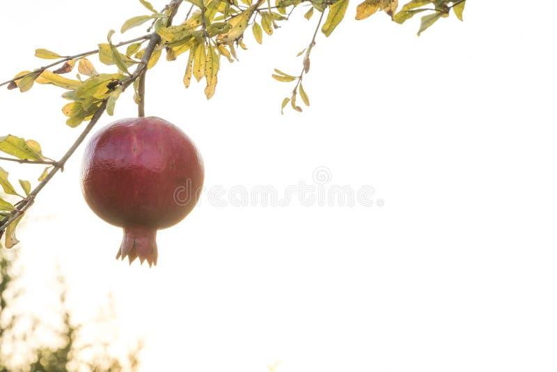 Pomegrant rouge pour le hashana de rosh accrochant dans le coucher du soleil photographie stock