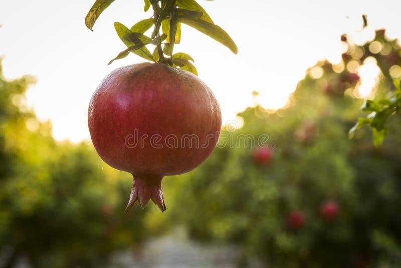 Pomegrant rouge pour le hashana de rosh accrochant dans le coucher du soleil images libres de droits