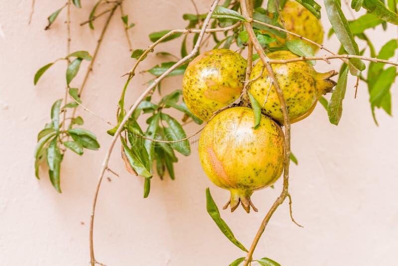 Pomegrante fruit stock photo