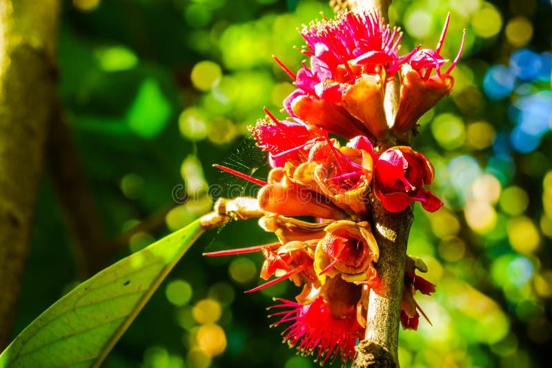 Pomelac-Malaie-Apple-Blumen stockfotografie