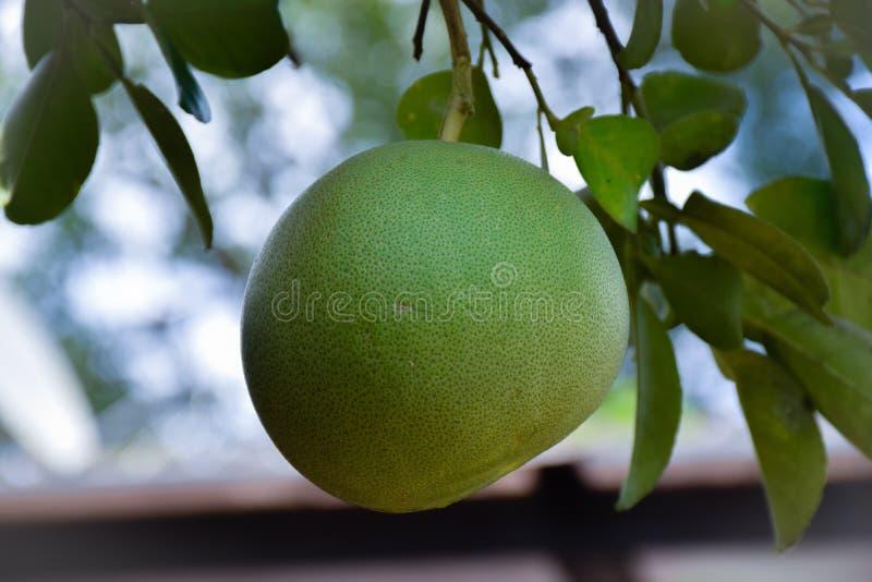 Pomelo στο δέντρο στον κήπο στοκ εικόνα με δικαίωμα ελεύθερης χρήσης